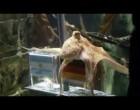 Orakel Krake Oktopus Paul: Ergebnis um 11 Uhr – Deutschland oder Spanien
